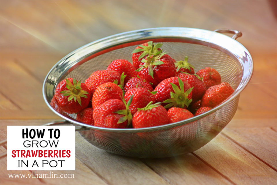 How to Grow Strawberries in a Pot