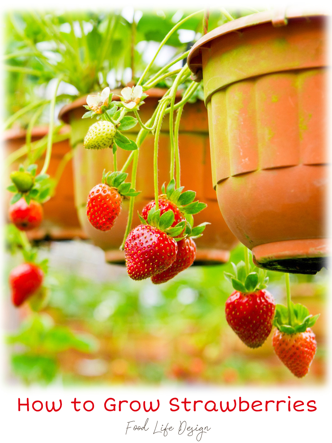 How to Grow Strawberries in a Pot - Food Life Design