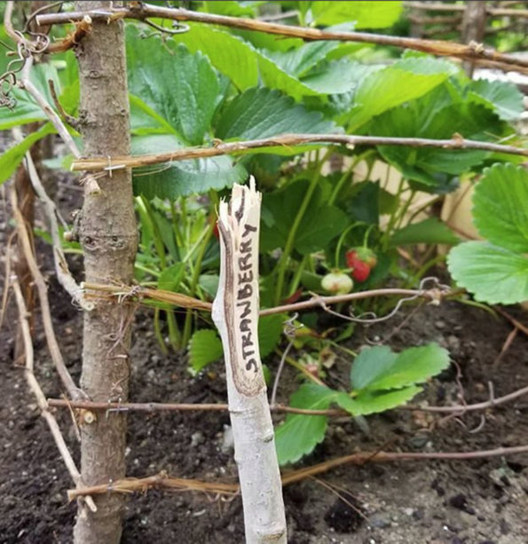 How to Grow Strawberries | Food Life Design