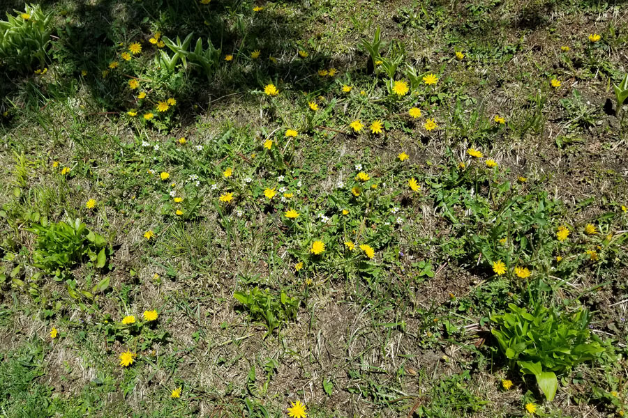 Dandelions in the Yard
